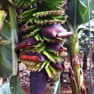 Finca Las Margaritas Banana Experience